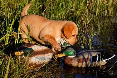 Yellow Labrador Retriever puppy climbing on duck decoys at edge of marsh, Illinois, USA  -  Lynn M. Stone/ npl