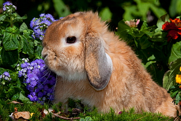 Portrait of brown coated Holland Lop eared Rabbit amongst flowers, Connecticut, USA  -  Lynn M. Stone/ npl