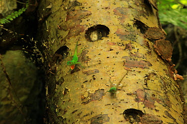 Male bark anole lizard (Anolis distichus) displaying bright orange dewlap to another lizard on the trunk of an almacigo tree (Bursera simaruba) in tropical rainforest, Los Haitises National Park, Domi...  -  Alan Watson/ npl