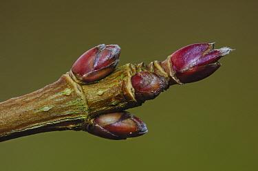Close up of Field maple buds (Acer campestre) Dorset, England, UK February  -  Colin Varndell/ npl