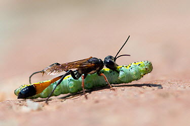 Sand wasp (Ammophila sabulosa) with caterpillar prey, Lesbos, Greece  -  Edwin Giesbers/ npl