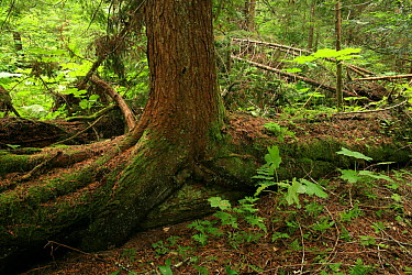Western hemlock (Tsuga heterophylla) growing on a nurse log in inland temperate rainforest, Goat Range Provincial Park, British Columbia, Canada July 2007  -  Alan Watson/ npl
