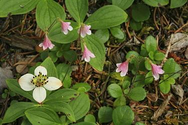 Bunchberry (Cornus canadensis) and Twinflower (Linnaea borealis) in bloom, Kootenay National Park, British Columbia, Canada  -  Alan Watson/ npl