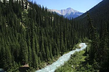 Forest of Engelmann spruce (Picea engelmannii) and Subalpine fir (Abies lasiocarpa) along Helmet Creek, Kootenay National Park, British Columbia, Canada  -  Alan Watson/ npl