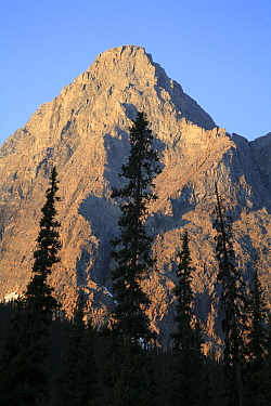Forest of Engelmann spruce (Picea engelmannii) and Subalpine fir (Abies lasiocarpa) silhouettes in early morning light against Limestone Peak, Kootenay National Park, British Columbia, Canada World He...  -  Alan Watson/ npl