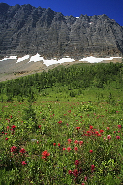 Alpine paintbrush flowers (Castilleja rhexifolia) and other alpine flowers, with the Rockwall in the background, Kootenay National Park, British Columbia, Canada  -  Alan Watson/ npl