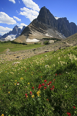 Alpine paintbrush flowers (Castilleja rhexifolia) and other alpine flowers on the Rockwall Trail with Mt Gray in the background, Kootenay National Park, British Columbia, Canada World Heritage Site Ju...  -  Alan Watson/ npl