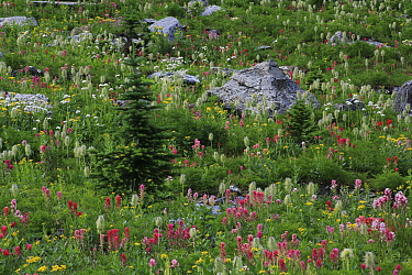 Engelmann spruce tree (Picea engelmannii), Alpine paintbrush flowers (Castilleja rhexifolia) and other flowers including Beargrass, in alpine meadow along the Rockwall trail, Kootenay National Park, B...  -  Alan Watson/ npl