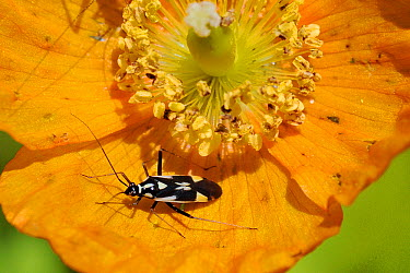 Capsid bug (Grypocoris, Calocoris stysi) on Alpine poppy (Papaver alpinum) flower Wiltshire garden, UK, June  -  Nick Upton/ npl