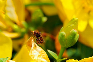 Conopid, Thick-headed fly (Sicus ferrugineus) a parasite of bumblebees, resting on St John's wort flower (Hypericum sp) Wiltshire garden, UK, July  -  Nick Upton/ npl
