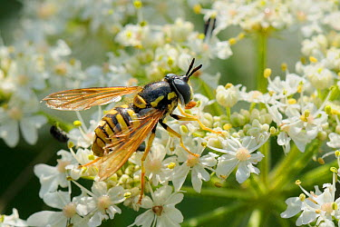 Hoverfly (Chrysotoxum cautum) wasp mimic using proboscis to take pollen from anther of Common hogweed, Cow parsnip (Heracleum sphondylium) flower Wiltshire, UK, June  -  Nick Upton/ npl