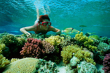 Free diver observing Picasso, Lagoon triggerfish (Rhinecanthus aculeatus) on coral reef, Sinai, Egypt, Red Sea Model released  -  Jeff Rotman/ npl