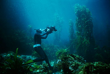 Terry Maas free diving filmmaker filming in Giant kelp forest, Anacapa Isaland, California, Pacific Ocean Model released  -  Jeff Rotman/ npl