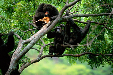 Chimpanzees gather round alpha male 'Frodo' in tree feeding on dead Bushbuck fawn {Pan troglodytes schweinfurtheii} Gombe NP, Tanzania. 2002  -  Anup Shah/ npl