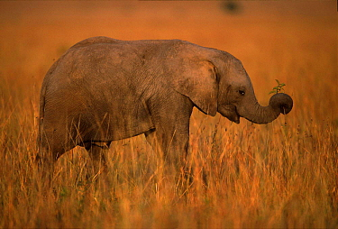 Young African elephant holding plant with trunk, Masai Mara, Kenya  -  Anup Shah/ npl