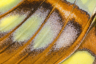 Close up of wing of Malachite butterfly (Siproeta stelenes) from South America  -  Ingo Arndt/ npl