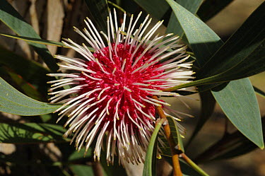 Pin-cushion hakea (Hakea laurina) flower, South Australia, Australia  -  Jouan & Rius/ npl