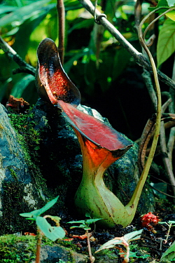 Pitcher plant, (Nepenthes lowii) Mt Kinabalu, Sabah, Borneo  -  Georgette Douwma/ npl