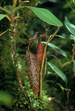 Pitcher plant (Nepenthes fusca) Mount Kinabalu, Sabah, Borneo  -  Georgette Douwma/ npl