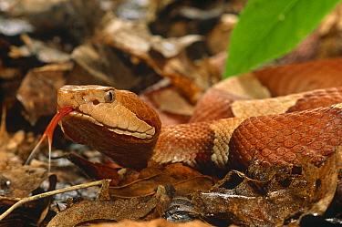 Broad banded copperhead snake (Agkistrodon contortrix) USA, captive  -  Mary Mcdonald/ npl
