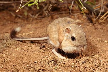 Bannertail kangaroo rat eating (Dipodomys spectabilis) Arizona USA Full pouches  -  Mary Mcdonald/ npl