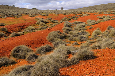 Slopes covered by spinifex grass, Flinders Ranges National Park, South Australia, Australia  -  Jouan & Rius/ npl