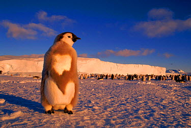 Emperor penguin chick moulting, Cape Darnley, Antarctica  -  Pete Oxford/ npl