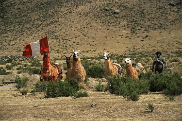 Domestic Llama race (Lama glama) Callalli, Colca valley, Peru  -  Karen Bass/ npl