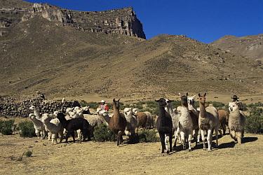 Llama (Lama glama) and Alpaca (Lama pacos) herd Callalli, Colca valley, Peru  -  Karen Bass/ npl
