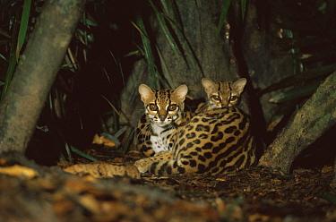 Margay cat (Felis wiedi) pair at night in rainforest, Amazonia, Brazil  -  Nick Gordon/ npl