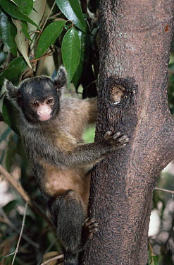 Maues marmoset (Callithrix mauesi) male at tree sap feeding site, Amazonia, Brazil  -  Nick Gordon/ npl