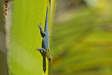 Yellow-headed Dwarf Gecko (Lygodactylus luteo picturatus) Zanzibar, Tanzania  -  Bernard Castelein/ npl