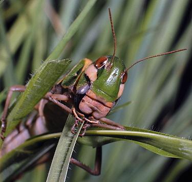 Green locust (Gastrimargus flavipes) eating grass Kenya Africa  -  Jane Burton/ npl