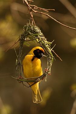 African masked weaver male building nest (Ploceus velatus) Kruger NP, S Africa  -  Dave Watts/ npl