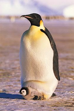 Emperor penguin brooding chick on feet, Antarctica (Aptenodytes forsteri) Dawson-Lambton glacier, Antarctica Weddell Sea November  -  David Tipling/ npl