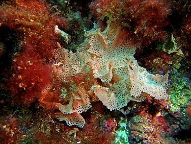 Lace coral (Sertella septentrionalis), Mediterranean  -  Jose B. Ruiz/ npl