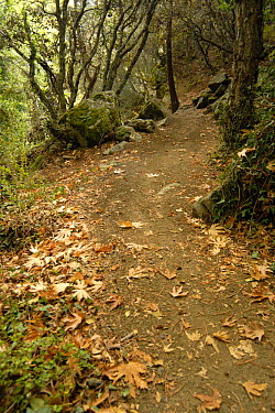 Hiking trail in the mountain forest, `Caledonian Trail` with fallen leaves of the Oriental Plane (Platanus orientalis) on the forest floor, Troodos Mountains, Cyprus  -  Martin Gabriel/ npl