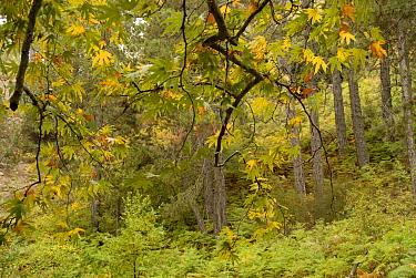 Montane vegetation in the Troodos Mountains: Oriental Plane (Platanus orientalis) and Black Pine (Pinus nigra), Caledonian Trail, Troodos Mountains, Cyprus  -  Martin Gabriel/ npl