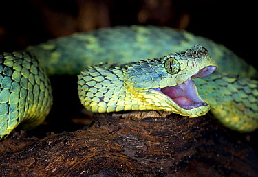 Variable, African bush viper snake (Atheris squamiger) with mouth open, captive, equatorial Africa  -  Michael D. Kern/ npl