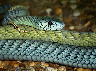 Western green mamba snake (Dendroaspis viridis) captive, Eastern Africa  -  Michael D. Kern/ npl