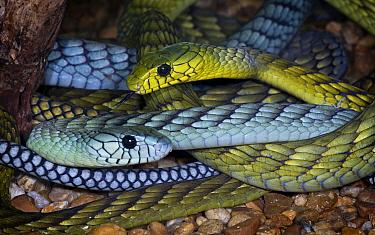 Western green mamba snakes (Dendroaspis viridis) captive, Eastern Africa  -  Michael D. Kern/ npl