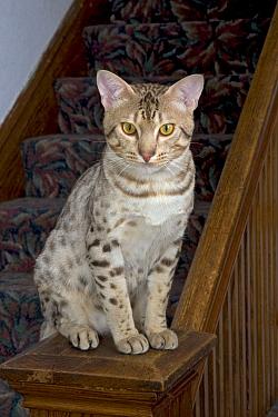 Ocicat (Felis catus) sitting on banister  -  Shattil & Rozinski/ npl