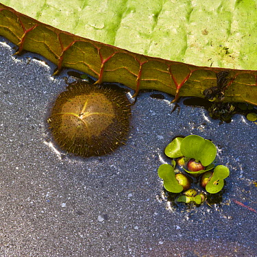 Close up of young bud and leaf edge of Royal water lily (Victoria amazonica) Pantanal NP, Mato Grosso, Brazil  -  Juan Carlos Munoz/ npl
