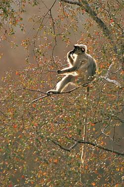 Contemplating Hanuman langur (Presbytis entellus) sitting in tree, Kumbhalgarh Wildlife Sanctuary, Rajasthan, India WPY compeition 2005 winner  -  Jean-pierre Zwaenepoel/ npl