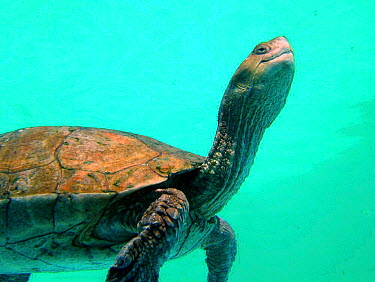 Spanish terrapin swimming (Mauremys leprosa)  -  Jose B. Ruiz/ npl