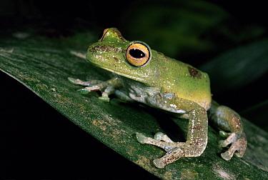 Tree frog (Hyla pellucens) Mindo Cloud Forest, Ecuador  -  Pete Oxford/ npl