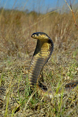 Snouted cobra defense display with hood spread (Naja annulifera) South Africa  -  Philip Dalton/ npl