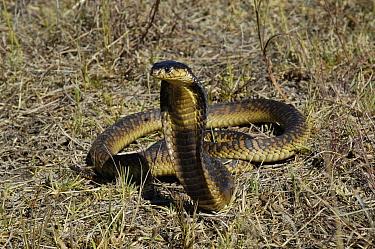 Snouted cobra defense display (Naja annulifera) South Africa  -  Philip Dalton/ npl