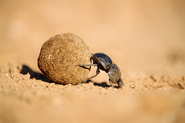 Flightless dung beetle (Circellium bacchus) female rolling buffalo dung ball to lay egg in, Addo Elephant park, South Africa  -  Andrew Parkinson/ npl