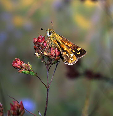 Silver-Spotted Skipper butterfly (Epargyreus clarus) basking on Marjoram at sunrise  -  Kim Taylor/ npl